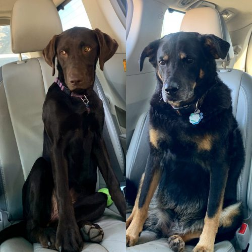 A photo of two dogs in a car who are really excited to go for a ride.