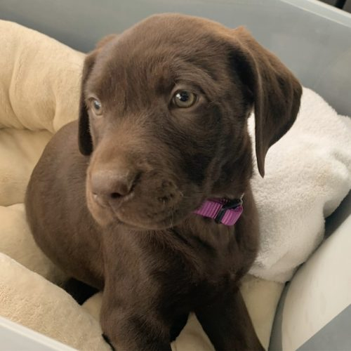 A photo of a chocolate lab puppy